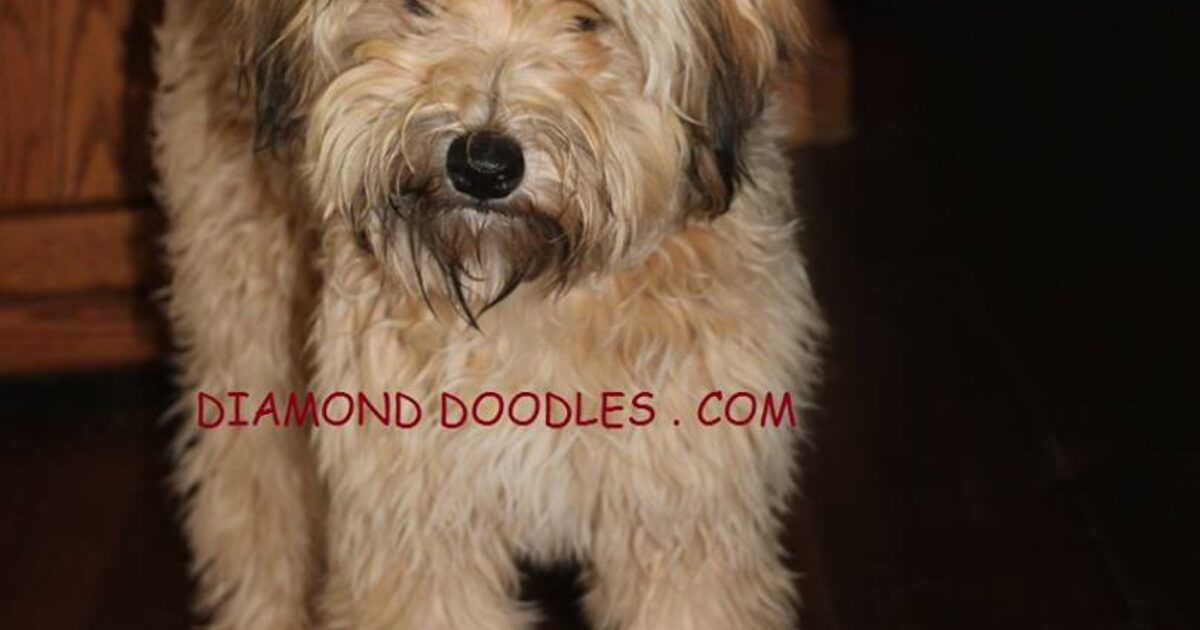 Whoodle Puppies Available